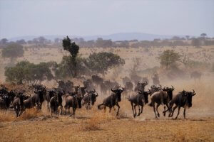 gnu migrando